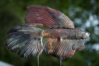 Fighting Fish #2